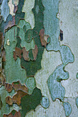Colorful bark of sycamore tree
