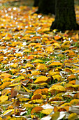 Golden autumn leaves scattered on ground