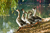 Geese standing at water's edge