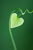 Heart shaped leaf on vine, close-up