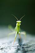 Praying mantis, front view
