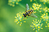 Hoverfly gathering pollen from small yellow flowers