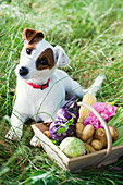 Jack Russel terrier beside basket of fresh produce