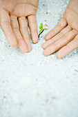 Cupped hands next to seedling growing in sand, cropped view