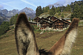 A chalet seen between the ears of a donkey, Alagna, Monte Rosa, Piedmont, Italy