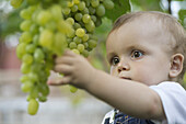 Baby staring at bunch of grapes