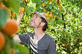 A man picking an apricot off an apricot tree