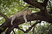 A leopard lying on a tree branch, looking away