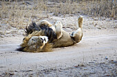 A playful male lion lying on his back