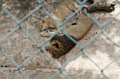 View of lions lying down in a zoo enclosure