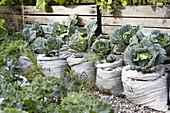 Cabbages growing in vegetable garden