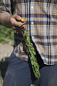 Midsection of mature man holding harvested carrot at vegetable garden