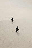 Two penguins walking on sand, Simon's Town, South Africa