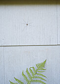 A Daddy Long Legs spider on wall above fern, close-up