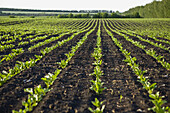 Rows of new crops growing in a field