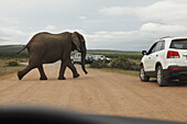 Elephant crossing road, Addo Elephant National Park, South Africa