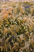 Feield with blue flowers, Sprenge, Schwedeneck, Daenischer Wohld, Rendsburg-Eckernfoerde, Schleswig-Holstein, Germany
