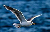 Great black-backed gull, Kiel fjord, Baltic sea, Kiel, Schleswig-Holstein, Germany
