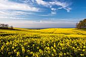 Rape field in blossom at the Baltic Sea, Schwedeneck, Daenischer Wohld, Rendsburg-Eckernfoerde, Schleswig-Holstein, Germany