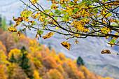 Leaves in autumn colours, Karwendel range, Tyrol, Austria