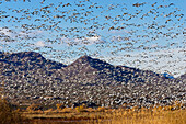 Snow Geese wintering in Bosque del Apache, Anser caerulescens atlanticus, Chen caerulescens, New Mexico, USA