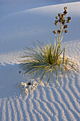 Soaptree, Yucca in dunes, Yucca elata, gypsum dune field, White Sands National Monument, New Mexico, USA