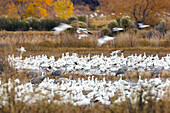 Snow Geese and Sandhill Cranes wintering in Bosque del Apache Wildlife Refuge, Anser caerulescens, Grus canadensis, New Mexico, USA