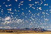 Schneegänse im Winterquartier, Anser caerulescens atlanticus, Chen caerulescens, Bosque del Apache, Neumexiko, USA