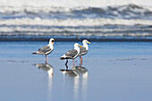 Western Gulls, Larus occidentalis, West Coast, Pacific, Olympic Peninsula, Washington, USA