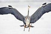 Grey Heron landing, Ardea cinerea, Usedom, Germany