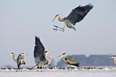 Grey Herons fighting Ardea cinerea Usedom Germany