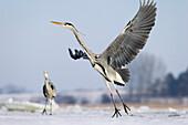 Grey Heron flying, Ardea cinerea, Usedom, Germany, Europe