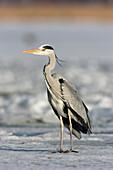 Grey Heron, Ardea cinerea, Usedom, Germany