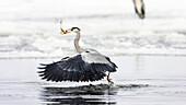 Grey Heron with fish in flight, Ardea cinerea, Usedom, Germany