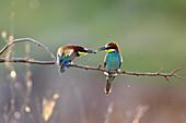 Bee-eaters, pair, male feeding female, Merops apiaster, Bulgaria, Europe