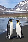 King Penguins, Aptenodytes patagonicus, St. Andrews Bay, South Georgia, Antarctica