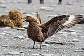 Brown Skua aggressive, Catharacta antarctica, South Georgia, Subantarctic, Antarctica