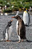 Gentoo Penguins, chick begging for food, Pygoscelis papua, Gold Harbour, South Georgia, Subantarctic, Antarctic