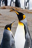 King Penguins, pair, Aptenodytes patagonicus, Gold Harbour, South Georgia, Subantarctic, Antarctica