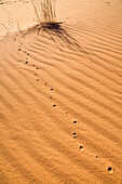 Animal spoor in the libyan desert, Libya, Sahara, Africa