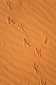 bird track in the libyan desert, Libya, Sahara, North Africa