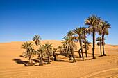 Date Palm Trees in Um el Ma oasis and sanddunes, libyan desert, Libya, Africa