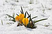 Crocus in snow, Germany