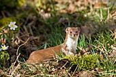 Weasel, Mustela nivalis, Bavaria, Germany