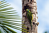 Red-bellied Macaw, Orthopsittaca manilata, Tambopata National Reserve, Peru, South, America
