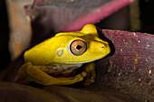 Yellow frog in Rainforest at Tambopata river, Tambopata National Reserve, Peru, South America