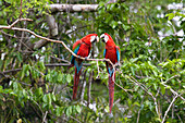 Red-and-green Macaws in rainforest, Ara chloroptera, Tambopata National Reserve, Peru, South America