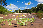 Butterflies in Rainforest at Tambopata river, Tambopata National Reserve, Peru, South America