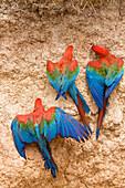 Red-and-green Macaws at claylick in rainforest, Ara chloroptera, Tambopata National Reserve, Peru, South America