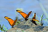 Butterflies in Rainforest at Tambopata river, Dryas iulia, Tambopata National Reserve, Peru, South America